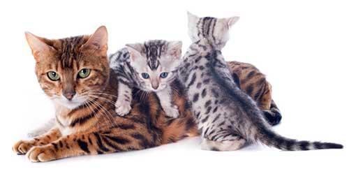 Kattuppfödare bengalkatt
